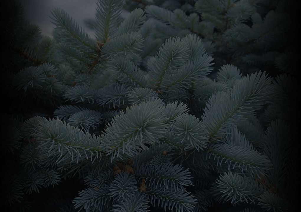 Spruce Pine Cone