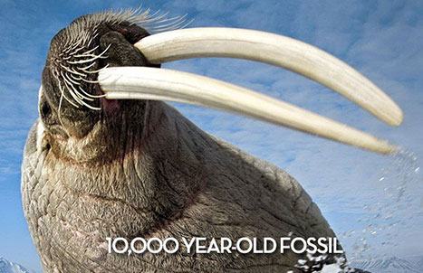 Fossil Walrus tusk